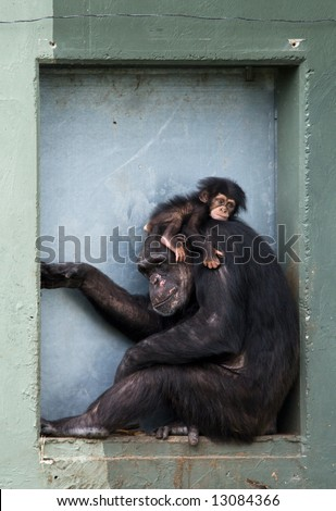 cute baby chimpanzee with mother (Pan troglodytes)