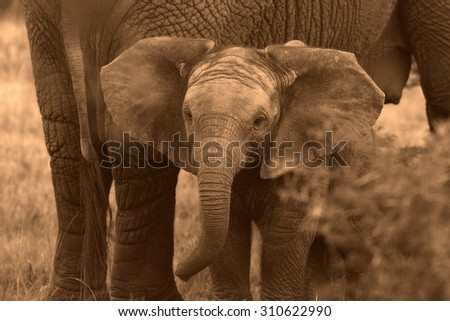 Cute baby elephant calf in this portrait image from South Africa - stock photo