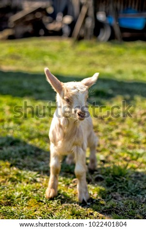 Cute baby goat on lawn