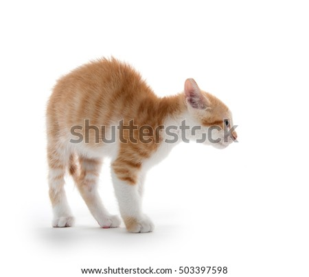 Cute baby kitten arching its back isolated on white background
