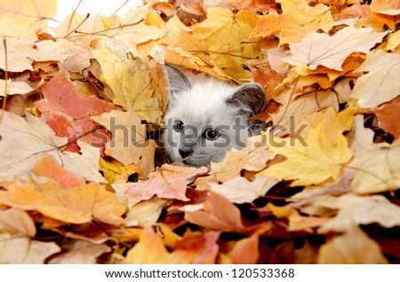 Cute baby kitten hiding in a pile of fall leaves - stock photo
