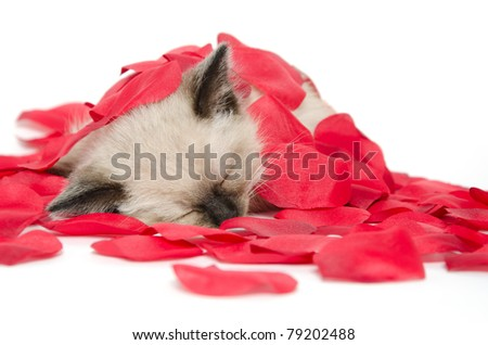 Cute baby kitten sleeping while covered with red rose pedals on white background