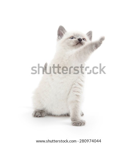 Cute baby kitten with light fur and gray ears, tail and paws plays on white background.