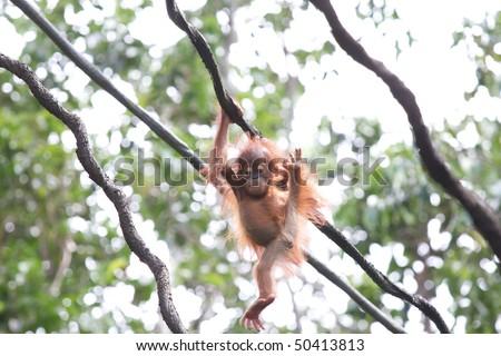 Cute baby Orang Utan - stock photo