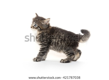 Cute baby pet tabby kitten standing and playing isolated on white background - stock photo