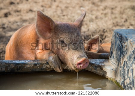 Cute baby pig drinking water - stock photo