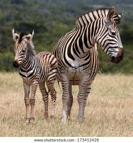 Cute baby plains zebra standing next to it's protective mother - stock photo