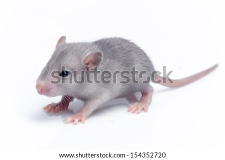 cute baby rat resting on white background - stock photo