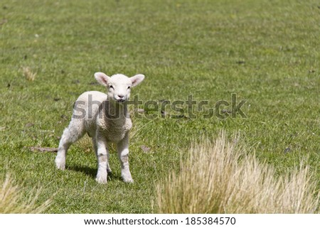Cute baby sheep