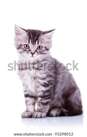 cute baby silver tabby cat, sitting on white background - stock photo