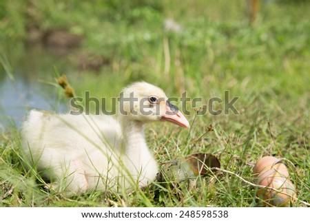 Cute baby swan with easter eggs - stock photo