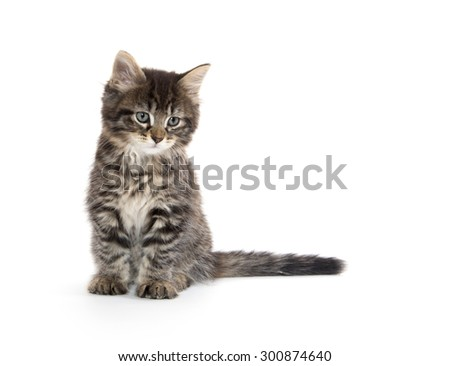 Cute baby tabby domestic shorthair kitten playing and isolated on white background - stock photo