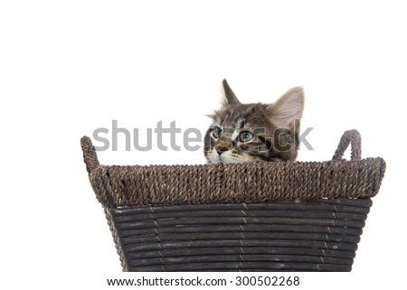 Cute baby tabby domestic shorthair kitten sitting inside of basket isolated on white background - stock photo