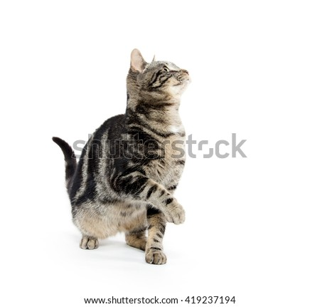 Cute baby tabby kitten looking up isolated on white background - stock photo