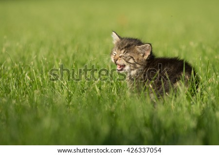Cute baby tabby kitten outside with its mouth open meowing in green grass - stock photo