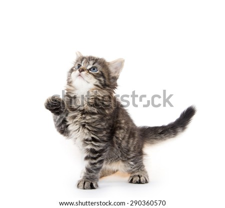 Cute baby tabby kitten playing isolated on white background