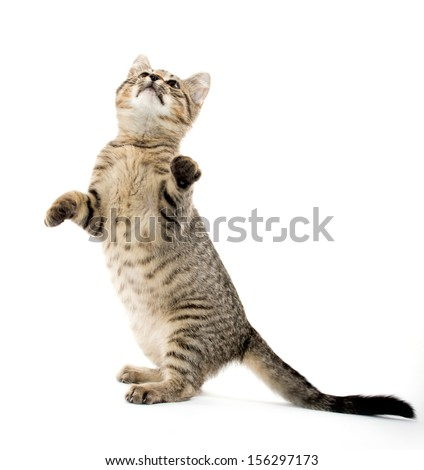 Cute baby tabby kitten standing on hind legs and leaping on white background