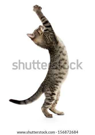 Cute baby tabby kitten standing on hind legs and leaping on white background - stock photo