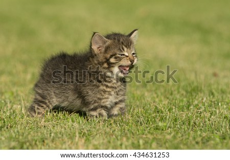 Cute baby tabby kitten walking through green grass