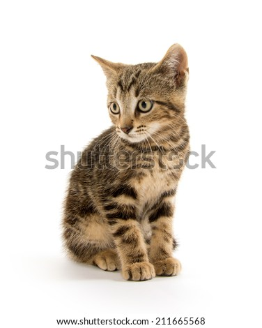 Cute baby tabby shorthair kitten on white background