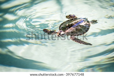 Cute baby turtle swimming in crystal clear water - stock photo