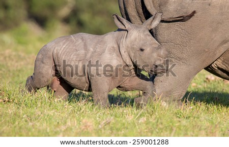 Cute baby white rhinoceros running next to it's mother - stock photo
