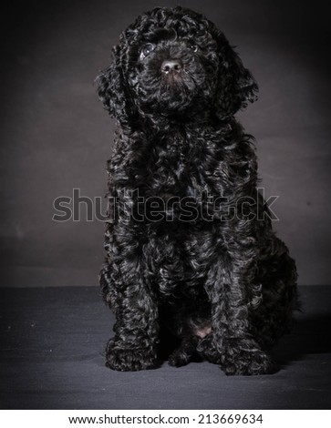 cute barbet puppy sitting on black background - stock photo