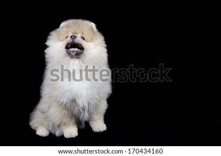 Cute barking Pomeranian puppy (isolated on black) - stock photo