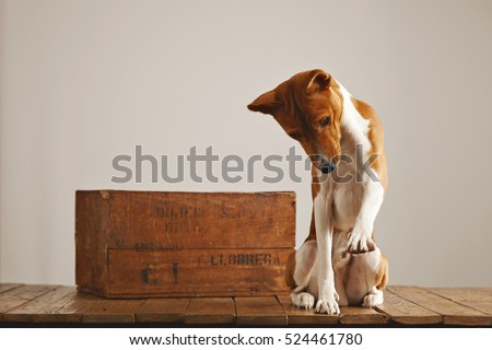Cute basenji dog raising his paw while playing next to a brown old wine box in a studio with white walls