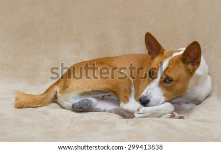 Cute basenji dog resting on a sofa - stock photo