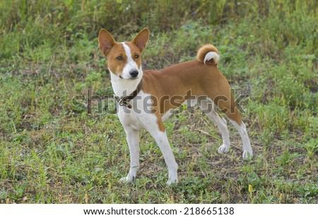 Cute Basenji dog - troop leader - stock photo