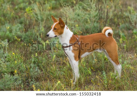 Cute Basenji dog - troop leader in the wild grass. - stock photo