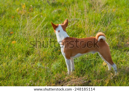 Cute Basenji dog - troop leader looking into the distance - stock photo