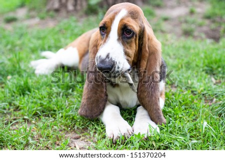 Cute Basset dog lying down and chewing wooden stick in the park - stock photo