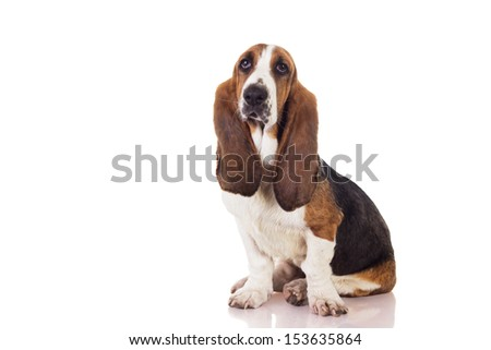 Cute Basset dog sitting and looking up, isolated on white