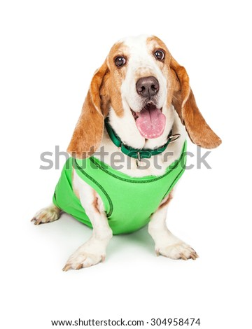 Cute Basset Hound dog wearing a green shirt and collar