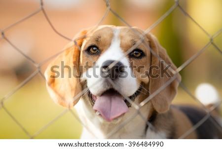 Cute Beagle dog behind fence portrait - stock photo