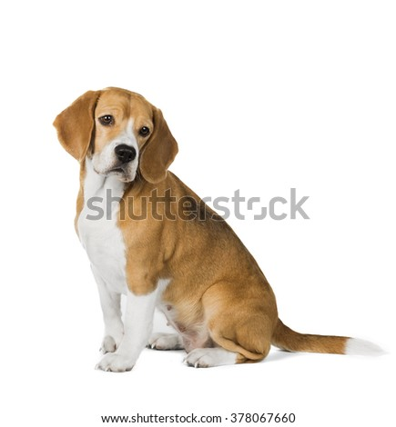 cute beagle dog isolated on white background
