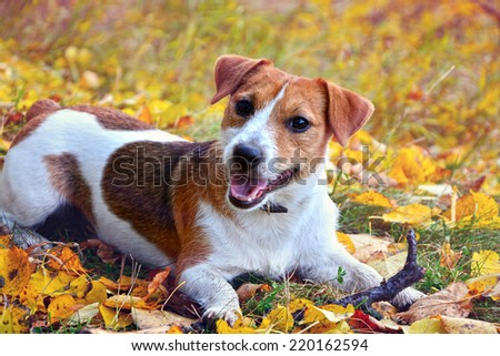 Cute beagle dog on autumn forest with leaves - stock photo