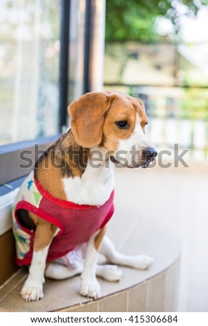 Cute beagle dog sitting in front of the room during summer time