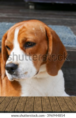cute beagle dog sitting on the floor (blur background with wood table top for display or montage your product)