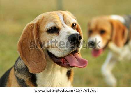 Cute beagle dogs relaxing in the park  - stock photo