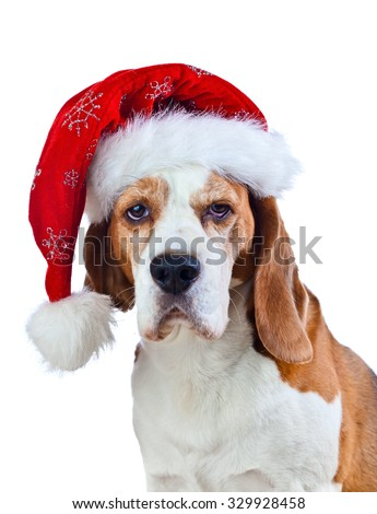 cute beagle in Santa hat isolated on white background