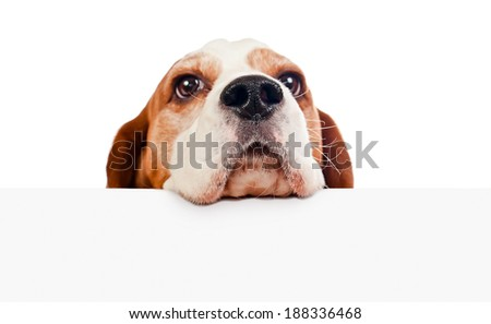 cute beagle isolated on a white background, focus on foreground - stock photo