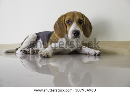 cute beagle puppy dog - stock photo