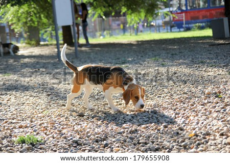 cute beagle puppy dog sniffing in sunny park - stock photo