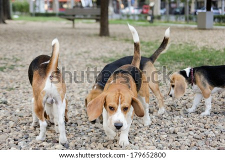 cute beagle puppy dogs playing in park with happy tails - stock photo