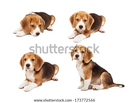 Most Inspiring Sea Beagle Adorable Dog - stock-photo-cute-beagle-puppy-in-diverse-poses-173772566  You Should Have_208146  .jpg