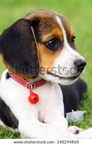 Cute Beagle puppy in the grass - stock photo