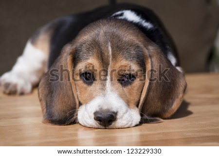 Cute beagle puppy looking - stock photo